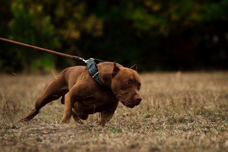 Las razas de perros más peligrosas