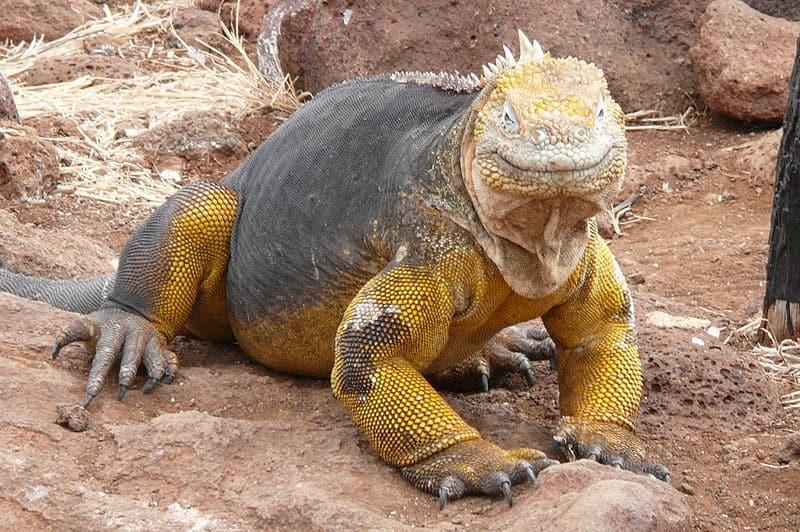 Increíbles sitios de patrimonio natural: Islas Galápagos.  La iguana terrestre de Galápagos