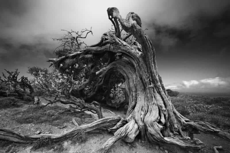 10 árboles vivos más antiguos del mundo 1