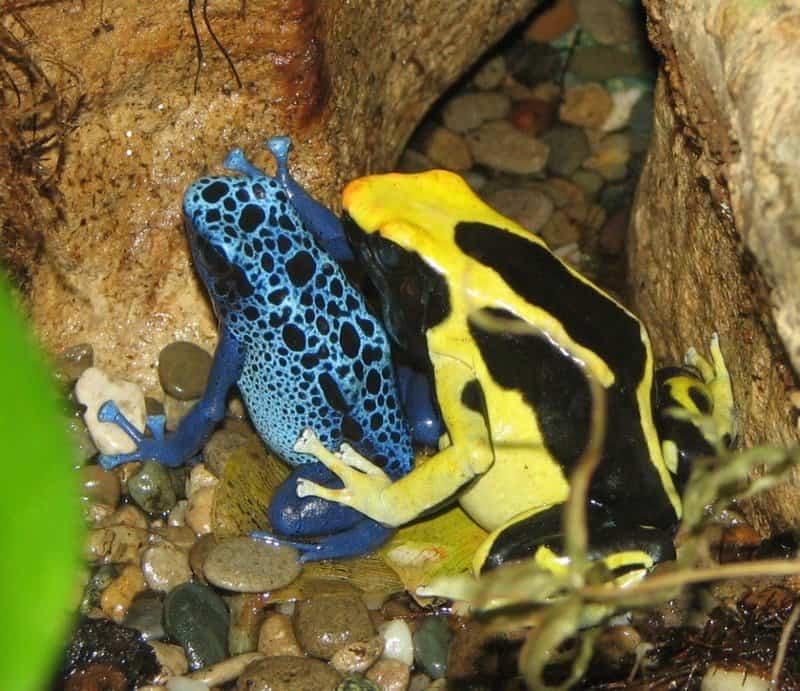 Las ranas más geniales del mundo: Poison Dart Frog