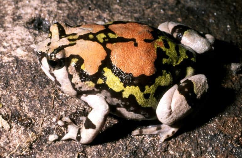 Las ranas más geniales del mundo: la rana arcoíris malgache