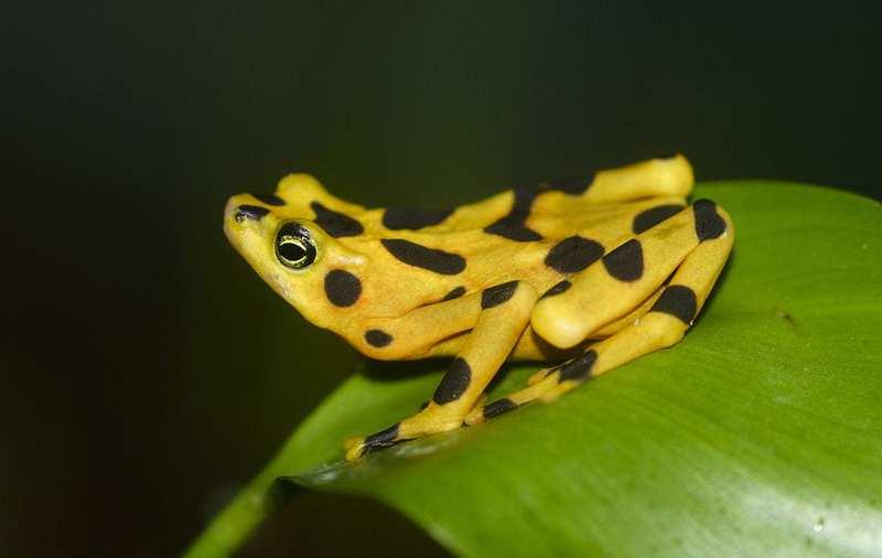 Las ranas más geniales del mundo: la rana dorada panameña
