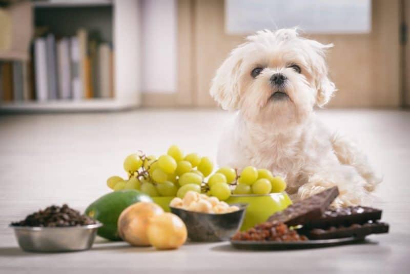 10 alimentos para perros más peligrosos que son comunes en tu cocina 1