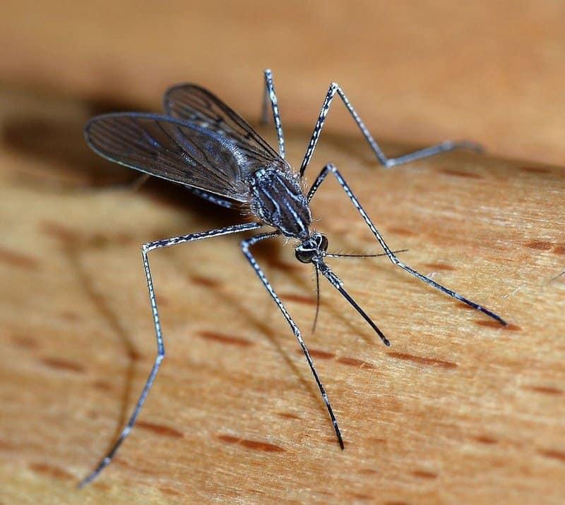 Mosquitos: los animales más peligrosos