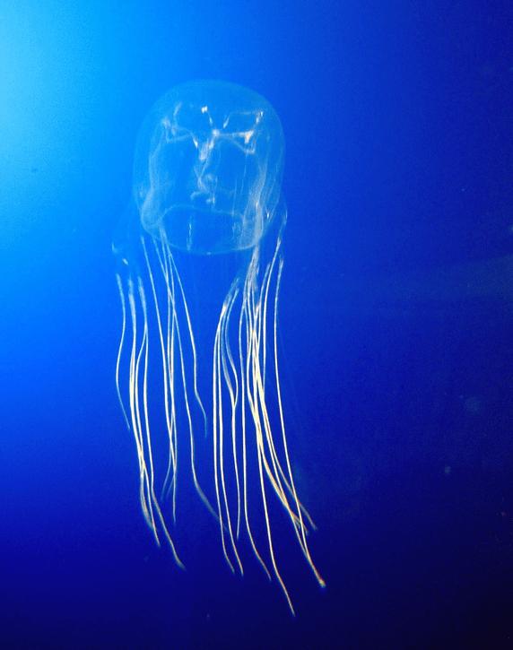 Los 10 animales más peligrosos del mundo: medusas de caja