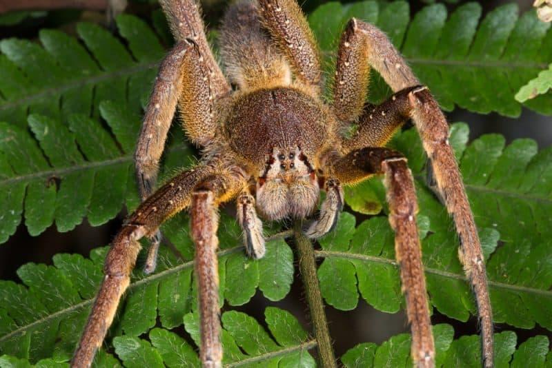 Arañas peligrosas