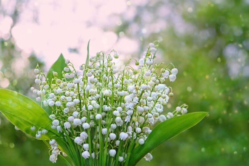Flor de aliso dulce: flor de lirio de los valles