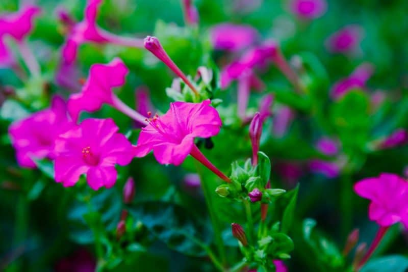 Flor de alyssum dulce: flor de las cuatro en punto