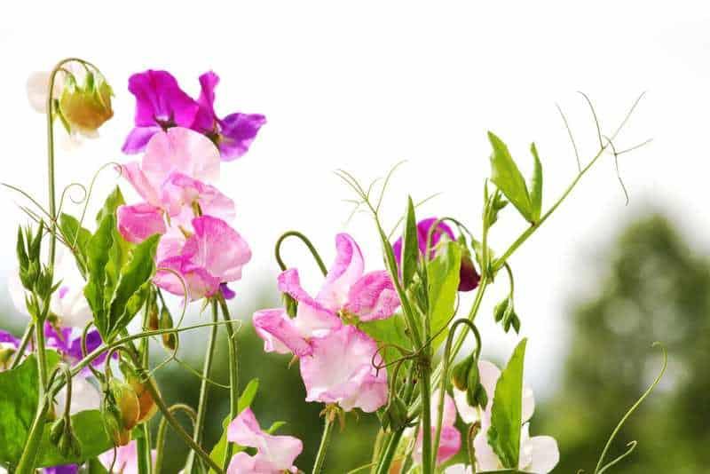 Flor de alyssum dulce: flor de guisante dulce