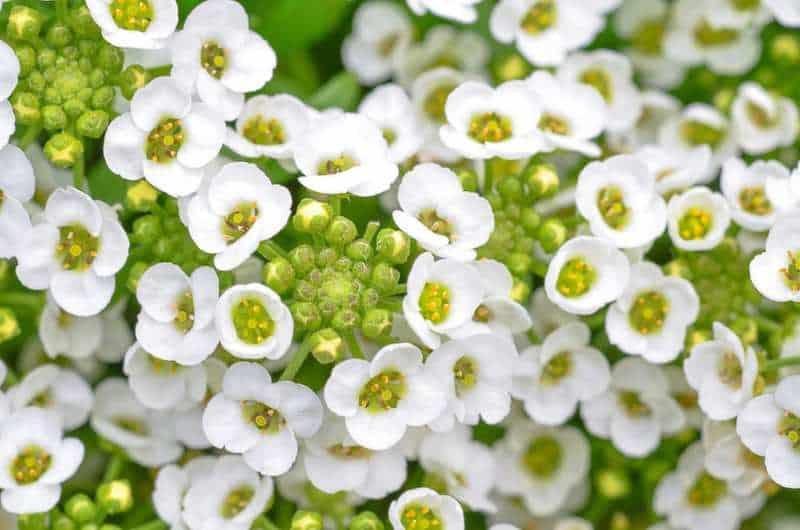 Las flores más fragantes: flor de aliso dulce.