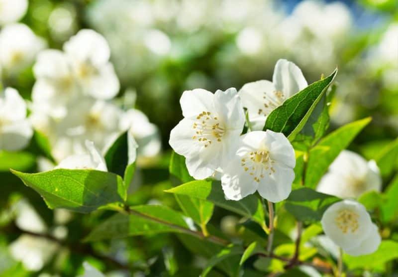 Las flores más fragantes: flor de jazmín.