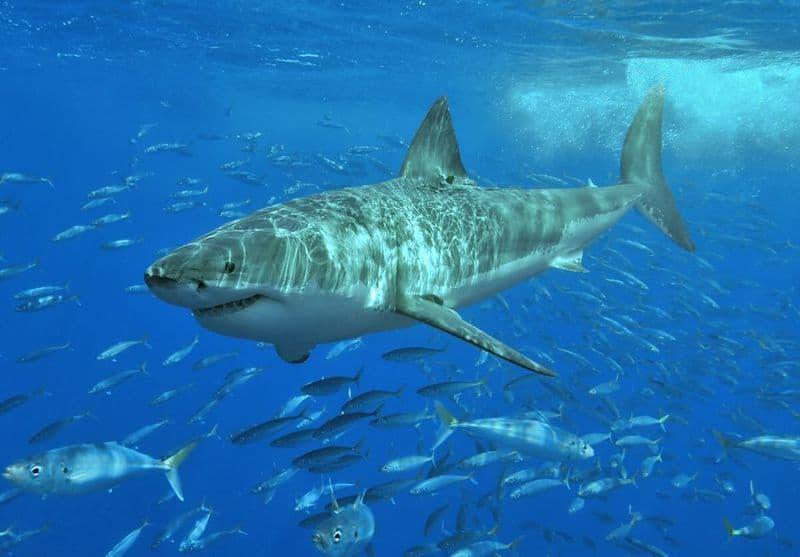 Gran tiburón blanco - animales más peligrosos