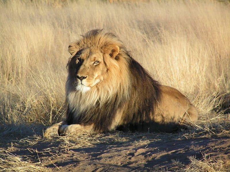 León africano: algunos han sido registrados como caníbales