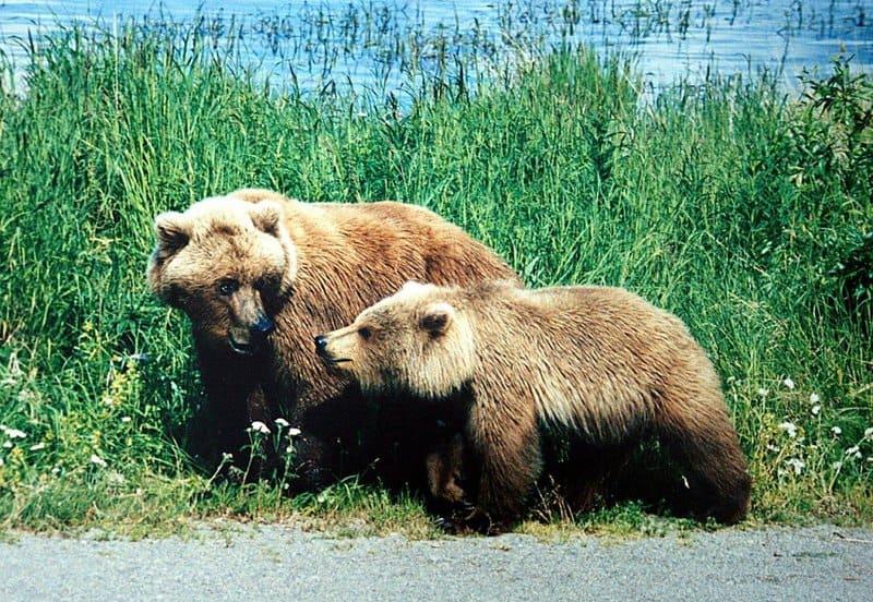 Oso grizzly - animales más peligrosos