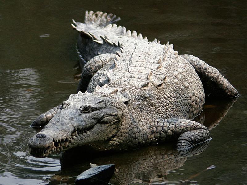 Los 10 animales más peligrosos del mundo: los cocodrilos